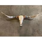 Longhoorn skull gegraveerd 160 cm