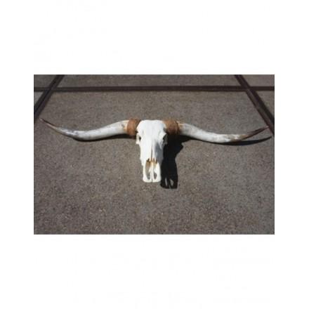 Longhoorn niet gegraveerd 3