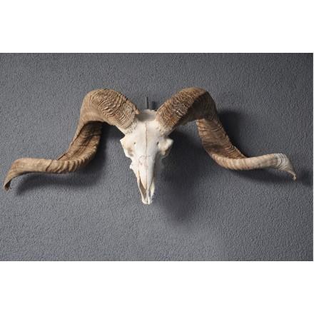 Ramschedel skull
