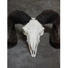 Ram schedel skull
